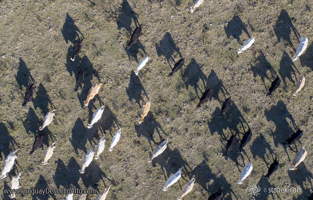 Vista aérea cenital de ganado vacuno y su sombra